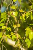 Branch of the curly birch Betula pendula var. carelica with earrings. In spring stock photos
