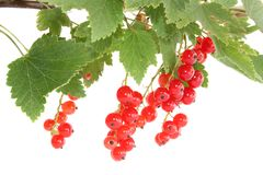 Branch a currant Royalty Free Stock Image