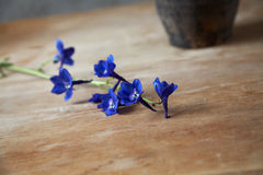 Branch of dark blue flowers on a wooden table Stock Image