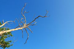 Branch of dead tree on blue sky. Branch of dead tree on blue sky, Arid zone stock photo