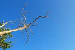Branch of dead tree on blue sky. Stock Photo