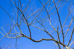 Branch of dead tree on blue sky Royalty Free Stock Image