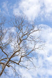 Branch of dead tree Royalty Free Stock Photo