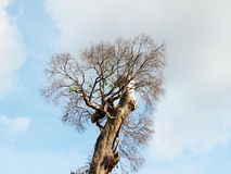 Branch of dead tree on white cloud and blue sky background. Stock Photo