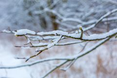 Branch of decideous tree covered by snow Stock Images