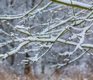 Branch of decideous tree covered by snow Royalty Free Stock Photography