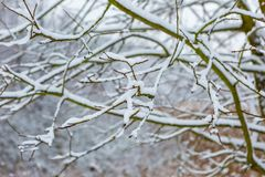 Branch of decideous tree covered by snow Stock Image