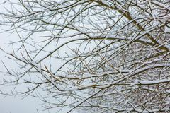 Branch of deciduous tree covered by snow Stock Photo