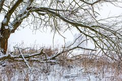 Branch of deciduous tree covered by snow. Landscape. Branch of deciduous tree covered by snow. Winter tree and field background Royalty Free Stock Images