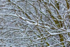 Branch of deciduous tree covered by snow. Winter tree branch background Royalty Free Stock Photos