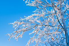 Branch of a deciduous tree in the snow and hoarfrost close-up on the background of bright blue sky in the rays of the winter sun,. Winter landscape Stock Image