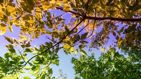 BRANCH OF A DECIDUOUS TREE IN TWO COLORS Stock Photography