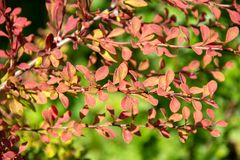Branch of decorative barberry in sunny garden royalty free stock photos