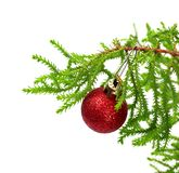 Branch of decorative home pine tree with red Christmas-tree ball. Isolated on white background Royalty Free Stock Photo