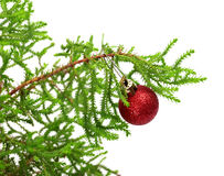 Branch of decorative home pine tree with red Christmas-tree ball Royalty Free Stock Photos