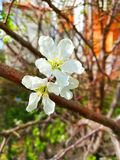 Whites delicate cherry flowers. stock image
