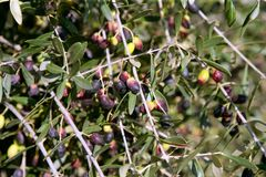 Branch details with olives growing Stock Images