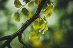 Branch, Dew, Green Royalty Free Stock Photography