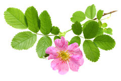 Branch of dog-rose Stock Photography
