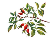 A branch of Dog rose Briar with red berries and green leaves. Stock Photography