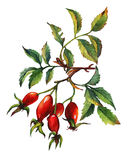 A branch of Dog rose Briar with red berries and green leaves. Royalty Free Stock Photography