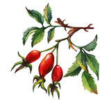 A branch of Dog rose Briar with red berries and green leaves. Royalty Free Stock Image