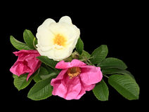 Branch of dog rose close up Stock Photo