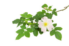 Branch of the dog-rose with flower close up Stock Image