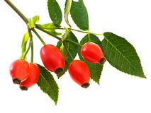 Branch of dog rose with hips Stock Photos