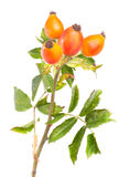 Branch of dog rose  isolated over white Stock Images
