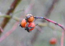 Branch of a dog rose with red berries Stock Photos