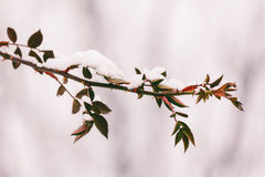 The branch of dog rose with thorns and red leaves in the snow in the winter. close-up Stock Image