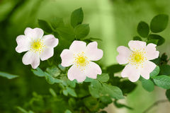 Branch of the dog-rose with three flowers close up Stock Image
