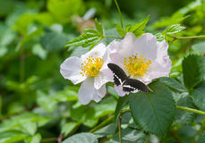 Branch of dog-rose in time of blossoming Stock Image
