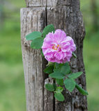 Branch of dog-rose Royalty Free Stock Photo
