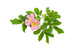 Branch of the dog-rose with two flowers close up Stock Photo