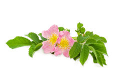 Branch of the dog-rose with two flowers close up Stock Images