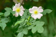 Branch of the dog-rose with two flowers close up Stock Image