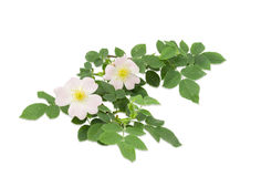 Branch of the dog-rose with two flowers close up Royalty Free Stock Photo