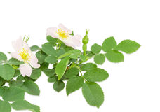 Branch of the dog-rose with two flowers close up Royalty Free Stock Images
