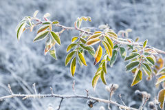 Branch dogrose covered with rime Royalty Free Stock Photography
