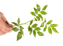 Branch of a dogrose Royalty Free Stock Images