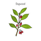 Branch of dogwood plant Stock Photography