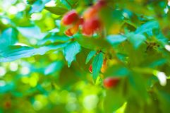 Branch of a dogwood tree. With red fruits on a sunny summer day Royalty Free Stock Image