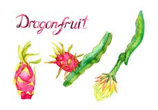Branch with dragon fruit and it`s flower, whole fruit. Hand painted watercolor illustration with inscription isolated on white background Stock Photo