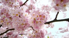 Branch with dreamy cherry blossoms and sunrays. Dreamy closeup of cherry blossoms on a tree, with rays of sunlight shining through the branches while the camera stock video footage