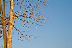 Branch of dried dead tree and the moon Stock Image