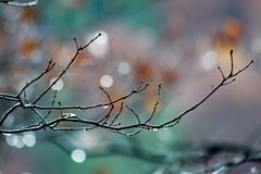 Branch with drops. A detail of naked twig Stock Images