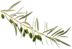 A branch and drops of olive oil falling from some green olives Stock Photos