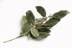 Branch of dry bay leaves isolated on white. Background. Traditional organic spice Stock Images